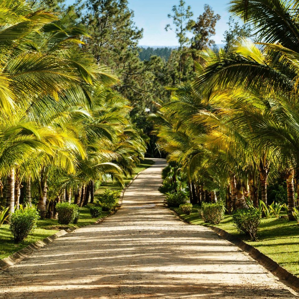 vegetation Nature tree arecales palm tree plant grass tropics sky botanical garden plantation date palm landscape walkway Garden grass family elaeis landscaping field
