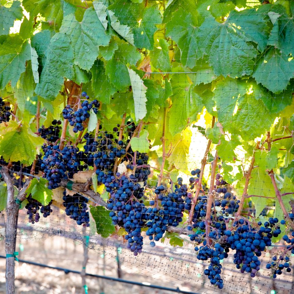 Nature Outdoor Activities Outdoors Travel Tips Wine-Tasting grape agriculture plant tree food vitis fruit Vineyard land plant grapevine family flowering plant leaf flower autumn Garden