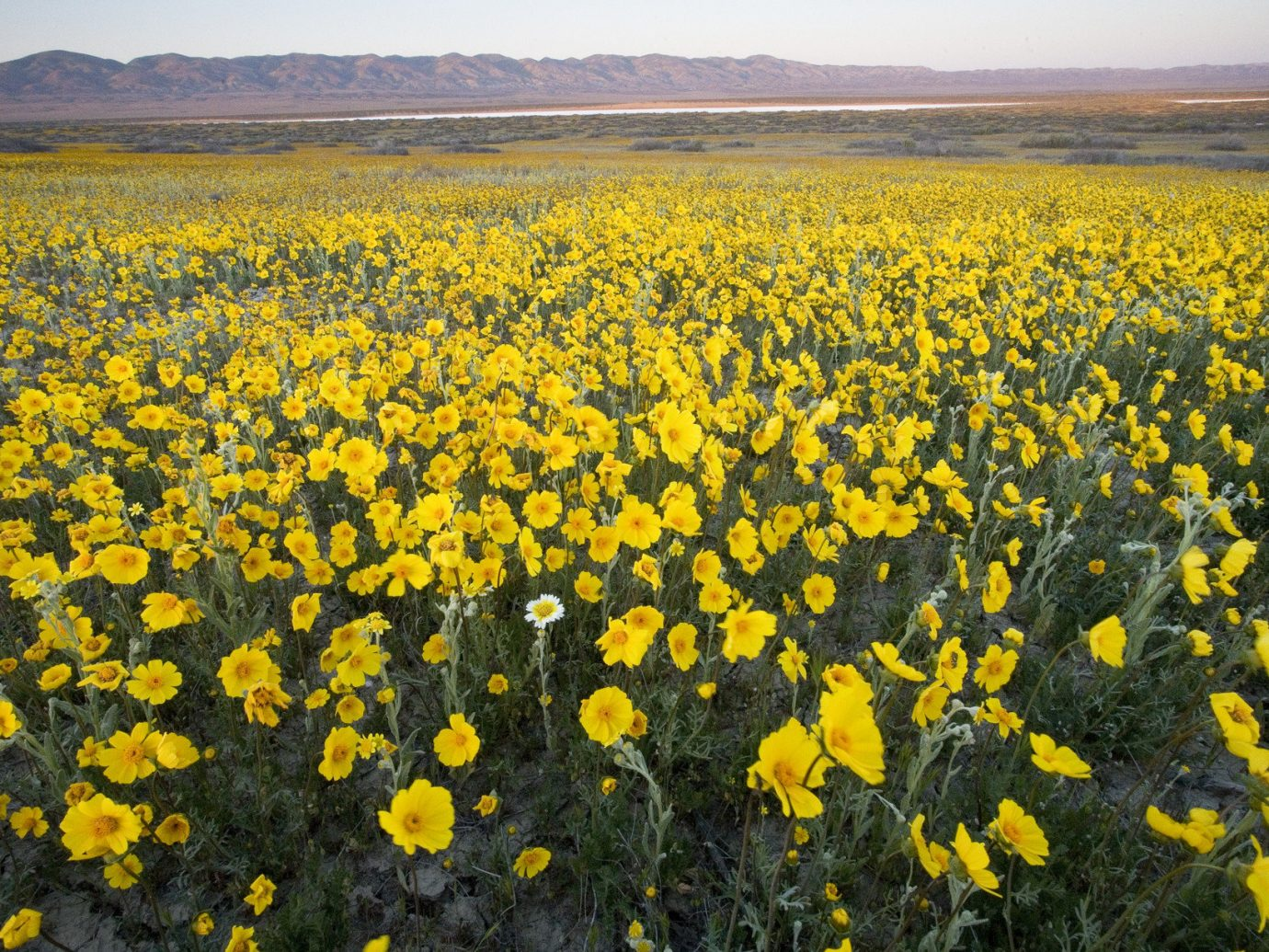 Offbeat flower habitat outdoor field plant yellow natural environment grassland ecosystem flora plain prairie meadow mountain land plant sunflower wildflower flowering plant rapeseed daisy family brassica steppe plateau
