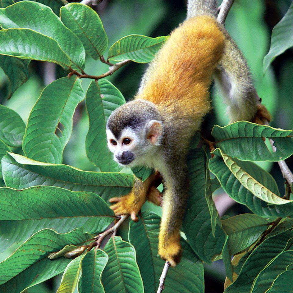 Natural wonders Nature Outdoors Scenic views Wildlife animal mammal tree vertebrate green monkey new world monkey white headed capuchin primate fauna squirrel monkey rainforest Jungle capuchin monkey plant branch