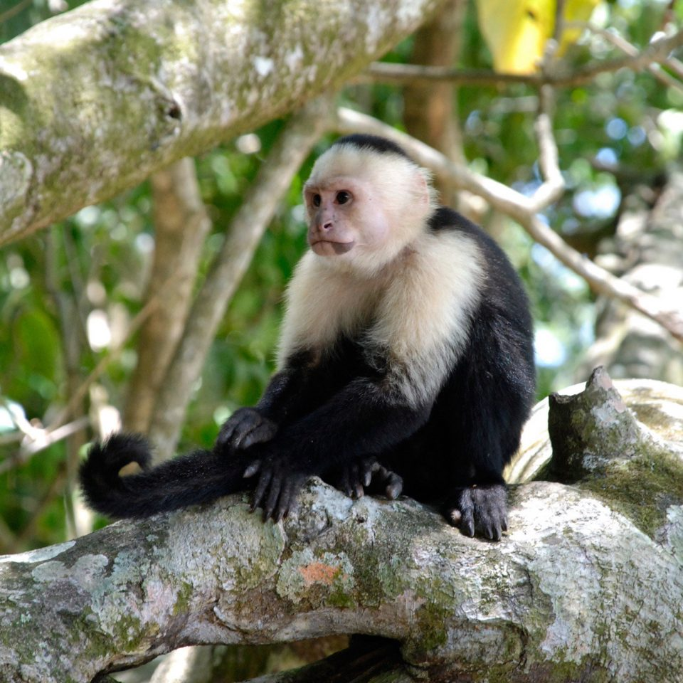 Natural wonders Nature Outdoors Wildlife tree animal mammal sitting primate monkey white headed capuchin macaque new world monkey fauna capuchin monkey old world monkey zoo tufted capuchin Jungle branch