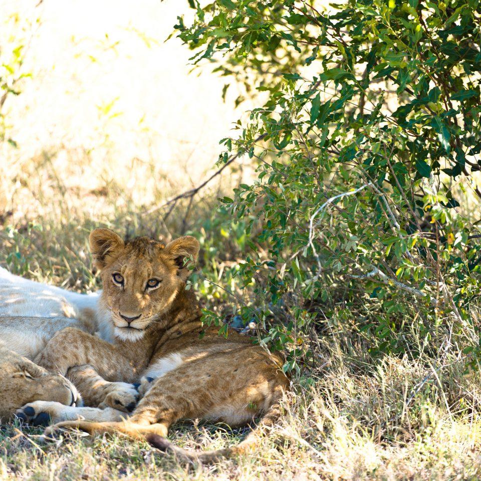 tree animal cat mammal laying Wildlife fauna cat like mammal Lion wild cat Safari big cats big cat shade wild dog