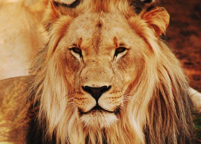 animal mammal Lion big cat vertebrate mane Wildlife fauna looking brown big cats whiskers masai lion cat like mammal close up savanna roar close staring