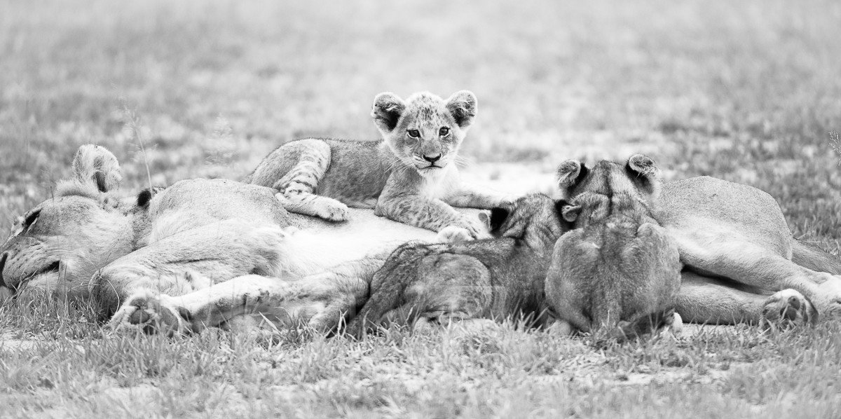 Trip Ideas grass outdoor field animal mammal Lion black and white vertebrate laying fauna Wildlife big cat grassy big cats cat like mammal monochrome photography monochrome Safari herd open Dog lush