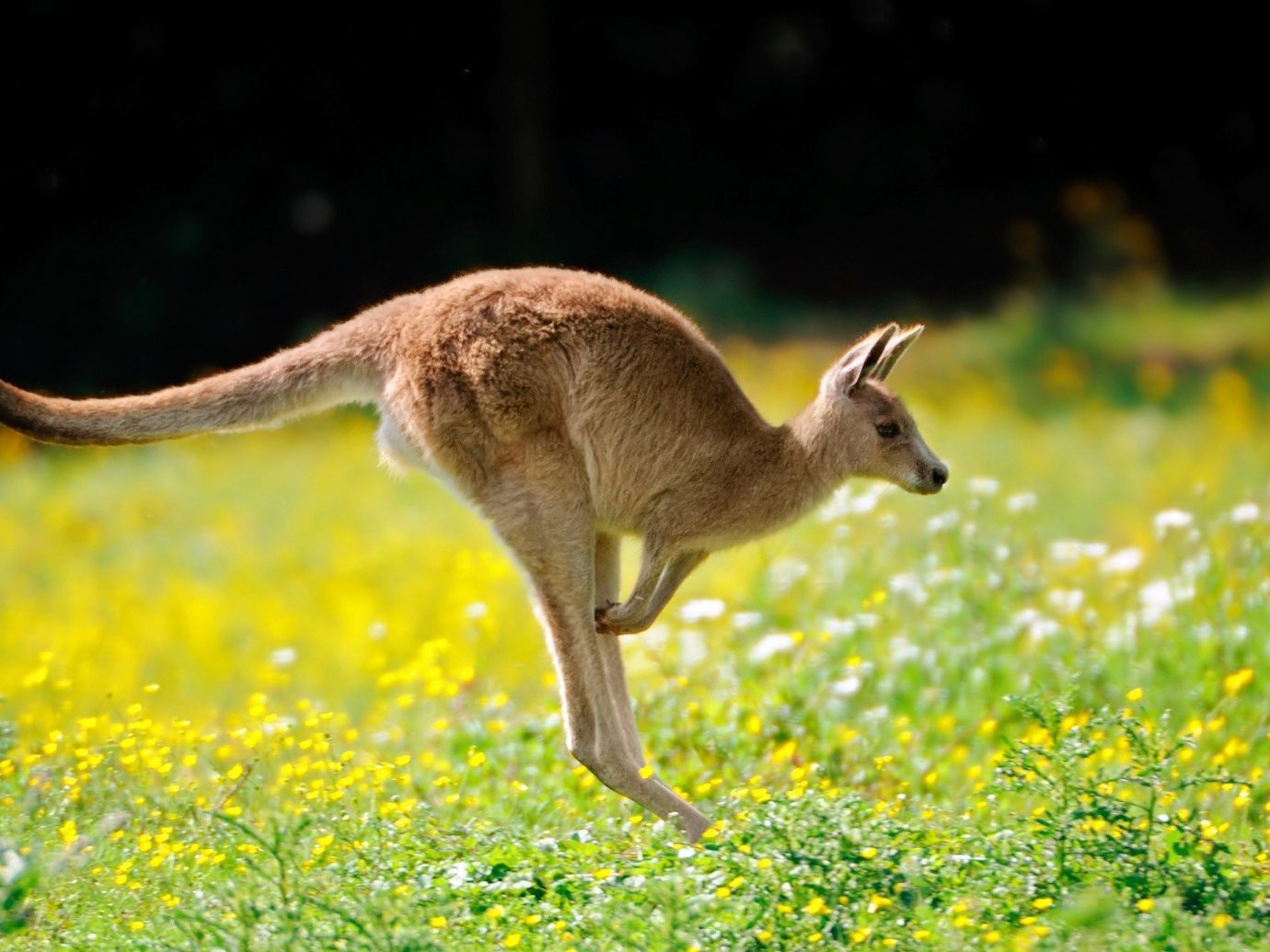 Trip Ideas grass animal mammal outdoor kangaroo vertebrate Wildlife fauna macropodidae white tailed deer deer marsupial gazelle