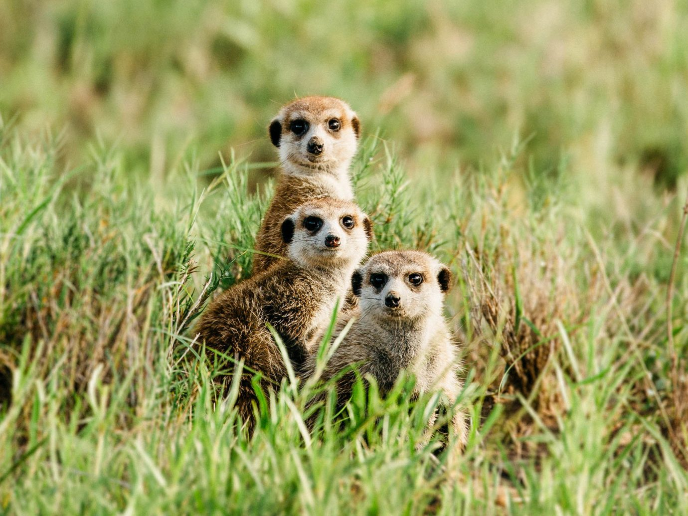 Outdoor Activities Safari Trip Ideas Wildlife mammal ecosystem fauna grassland grass terrestrial animal cheetah prairie meerkat ecoregion prairie dog grass family whiskers snout