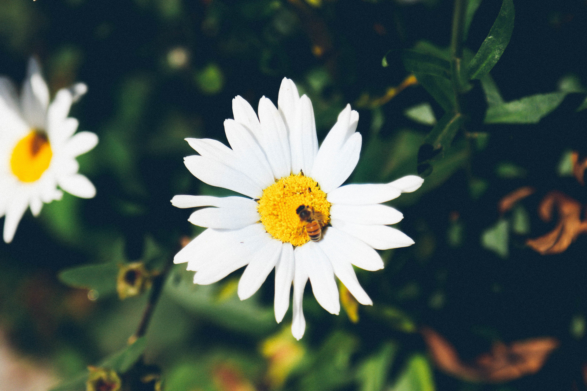 Jetsetter Guides Road Trips plant flower Nature flora oxeye daisy yellow daisy macro photography botany land plant close up petal daisy family flowering plant wildflower sunlight blossom plant stem chamaemelum nobile