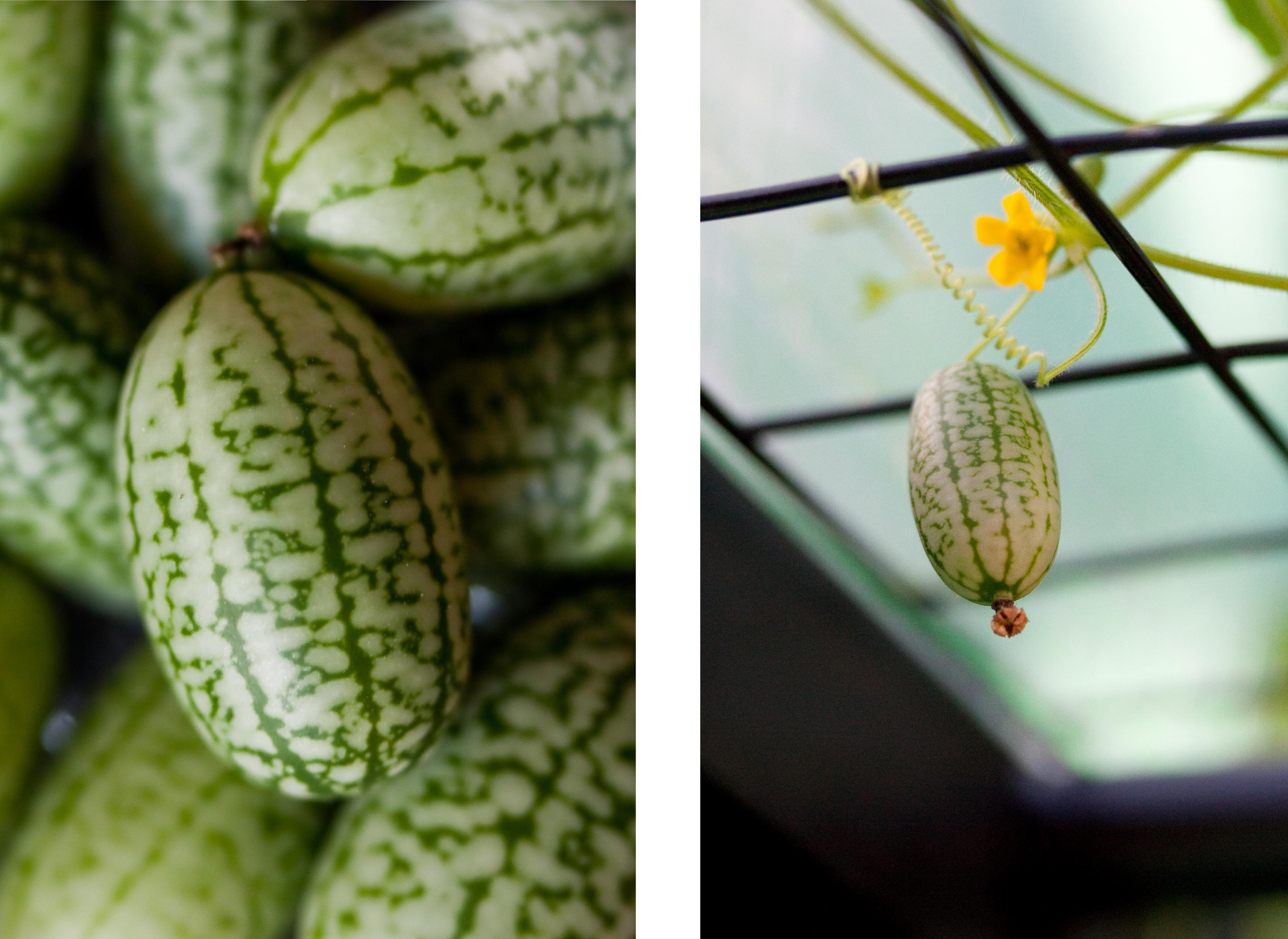 Food + Drink green flora plant fruit leaf botany produce food close up land plant flower macro photography branch flowering plant gourd different