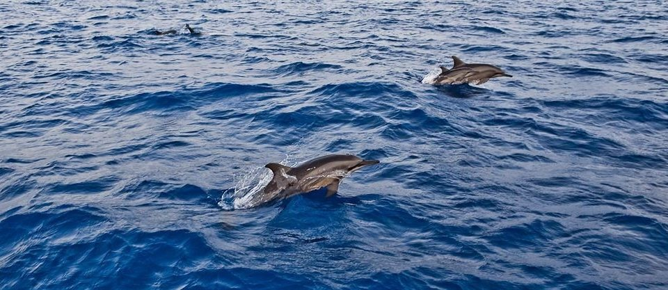 water animal aquatic mammal mammal dolphin vertebrate marine biology Ocean marine mammal whales dolphins and porpoises Sea short beaked common dolphin blue whale striped dolphin swimming wave