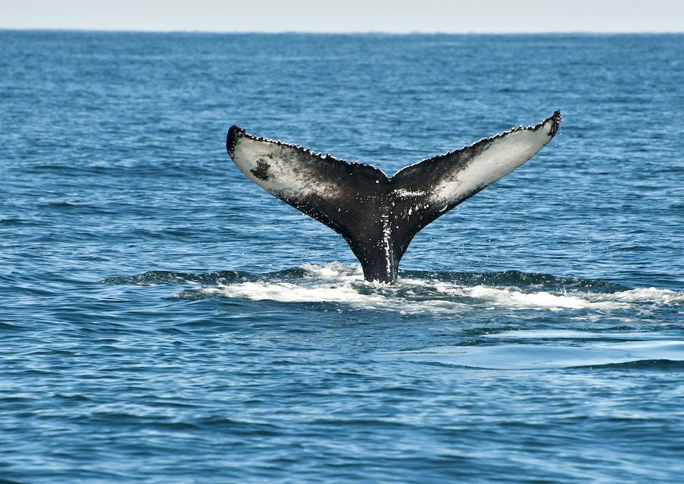 water animal mammal aquatic mammal sky Ocean whale vertebrate marine mammal whales dolphins and porpoises marine biology rough toothed dolphin common bottlenose dolphin humpback whale short beaked common dolphin grey whale Sea stenella striped dolphin spinner dolphin wave dolphin day