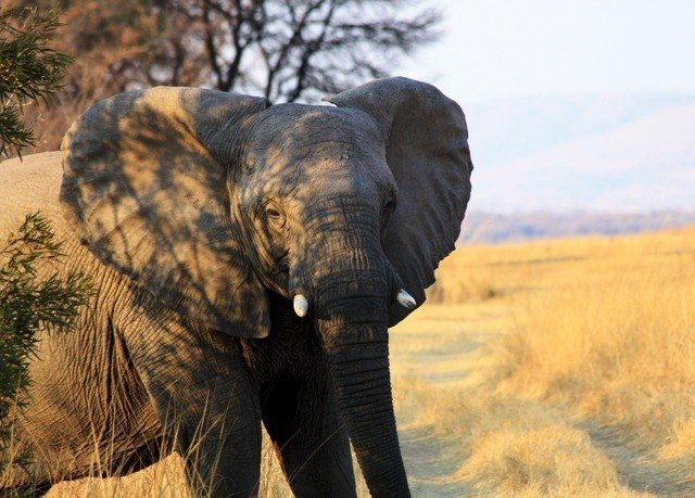 animal grass elephant mammal indian elephant Wildlife fauna elephants and mammoths african elephant savanna grassland Safari day