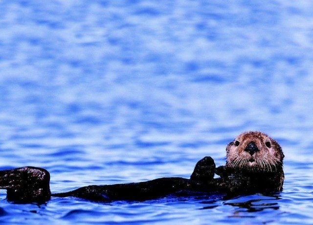 animal mammal water vertebrate otter sea otter marine mammal mustelidae Sea arctic harbor seal swimming