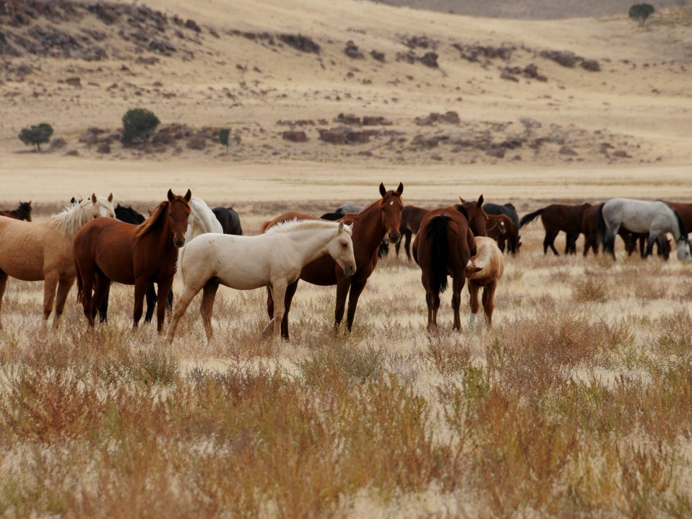 Offbeat outdoor grass habitat mammal herd field horse animal pasture mountain steppe natural environment grassland mare fauna ecosystem mustang horse grazing group brown prairie Wildlife plain landscape horse like mammal savanna