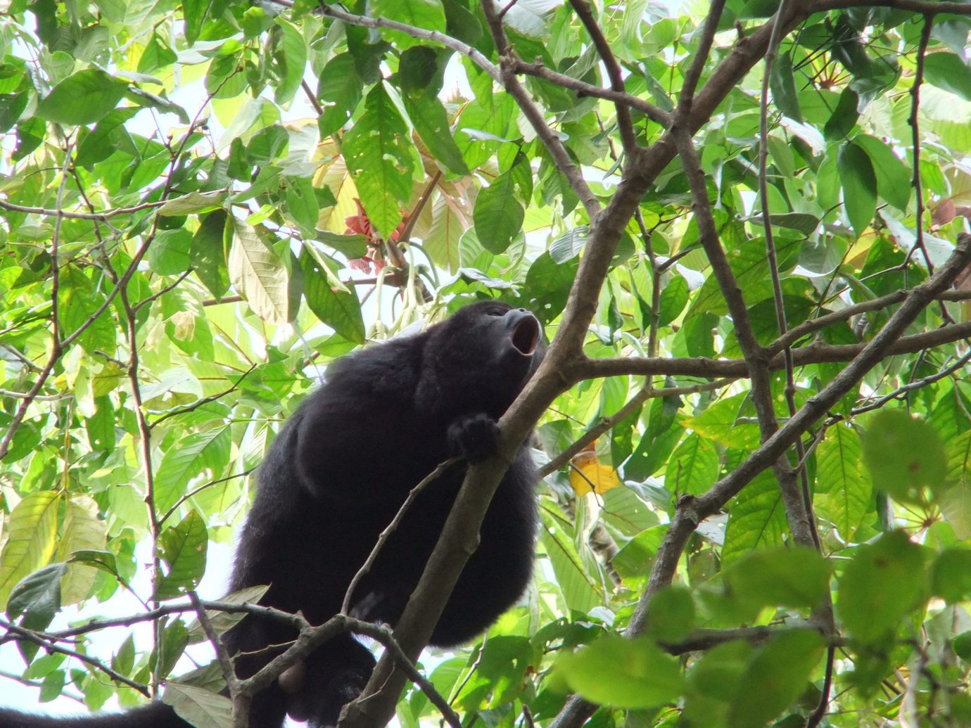 Howeler Monkey In Belize Rainforest