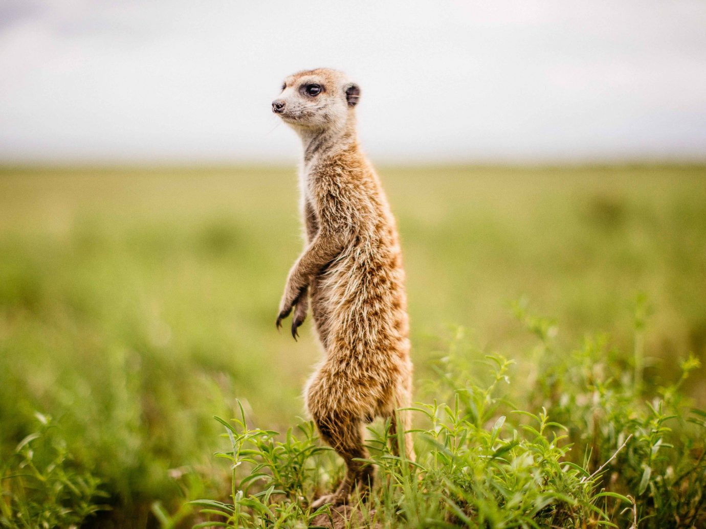 Outdoor Activities Safari Trip Ideas grass outdoor meerkat animal mammal ecosystem fauna grassland Wildlife terrestrial animal standing field prairie ecoregion mongoose whiskers snout savanna