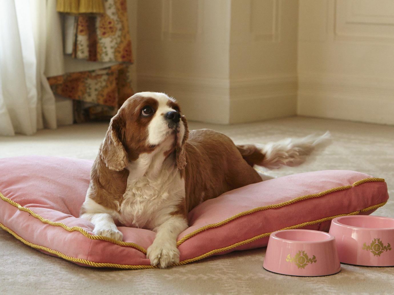 Hotels indoor Dog mammal laying cavalier king charles spaniel dog like mammal furniture puppy