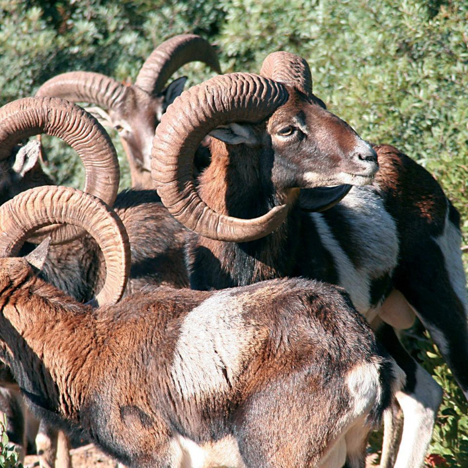grass sheep animal mammal vertebrate Wildlife standing fauna goats bighorn goat barbary sheep horn group herd