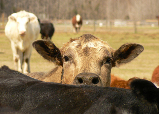 cow grass animal mammal bovine field standing cattle cattle like mammal herd fauna pasture Wildlife group black dairy cow wire ear lined staring day
