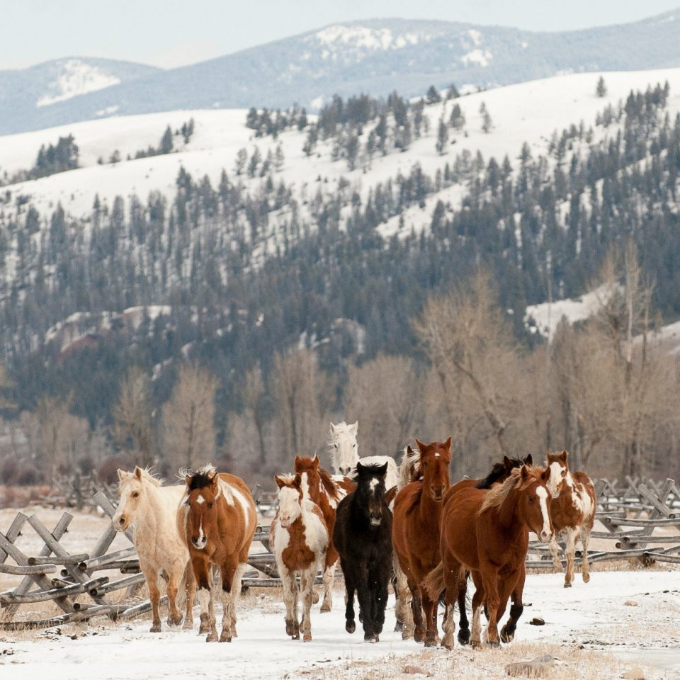 cow snow sky mountain ground mammal animal pasture group herd brown Winter cattle like mammal mountain range cattle horse highland