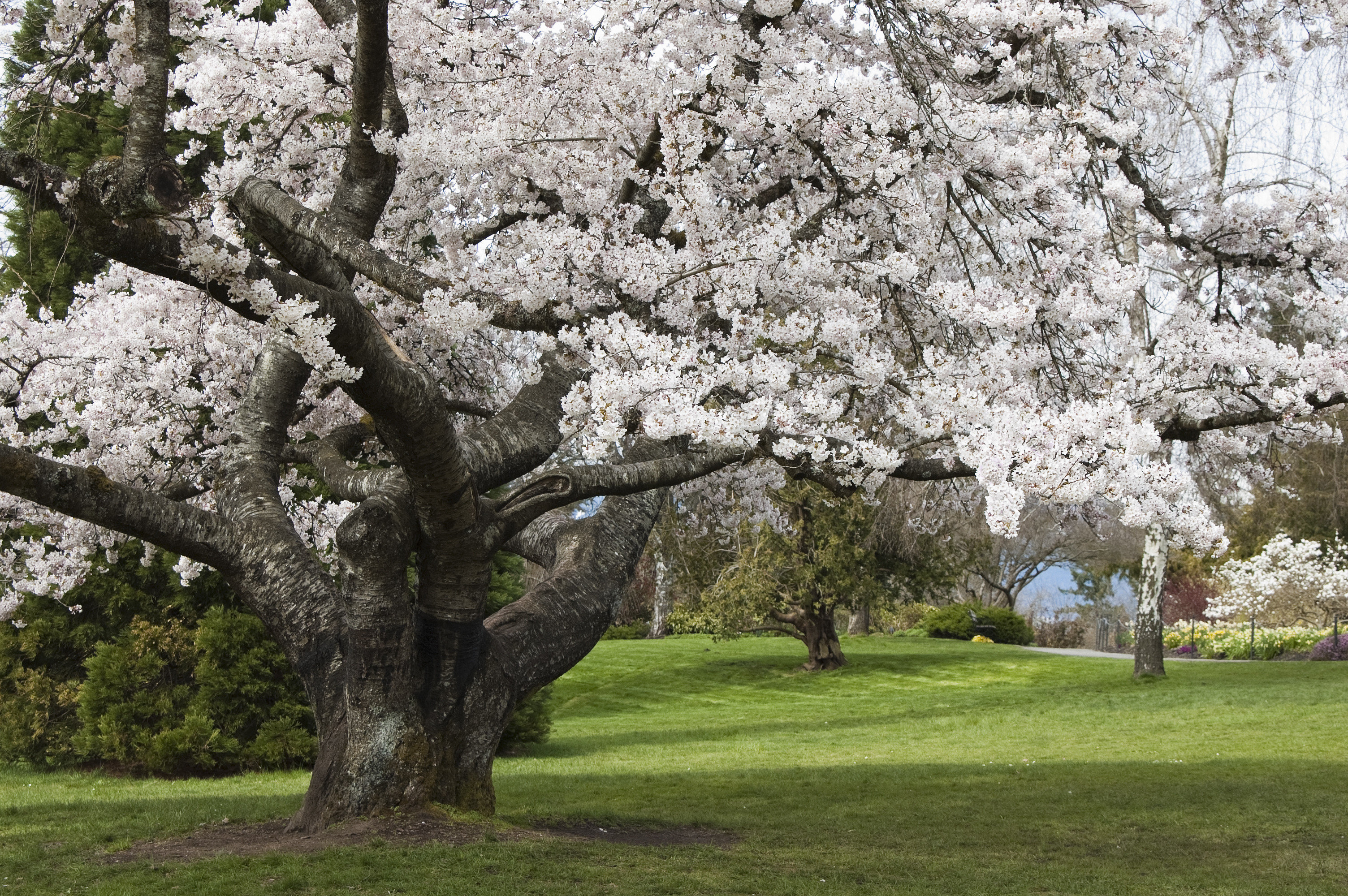 Offbeat tree grass outdoor flower plant field blossom cherry blossom botany park spring oak lush