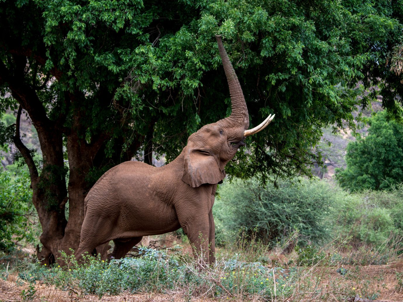 tree Trip Ideas outdoor elephant grass elephants and mammoths Wildlife terrestrial animal fauna indian elephant mammal wilderness nature reserve african elephant tusk national park Forest standing woodland Jungle organism plant green Safari bushes trunk wooded lush