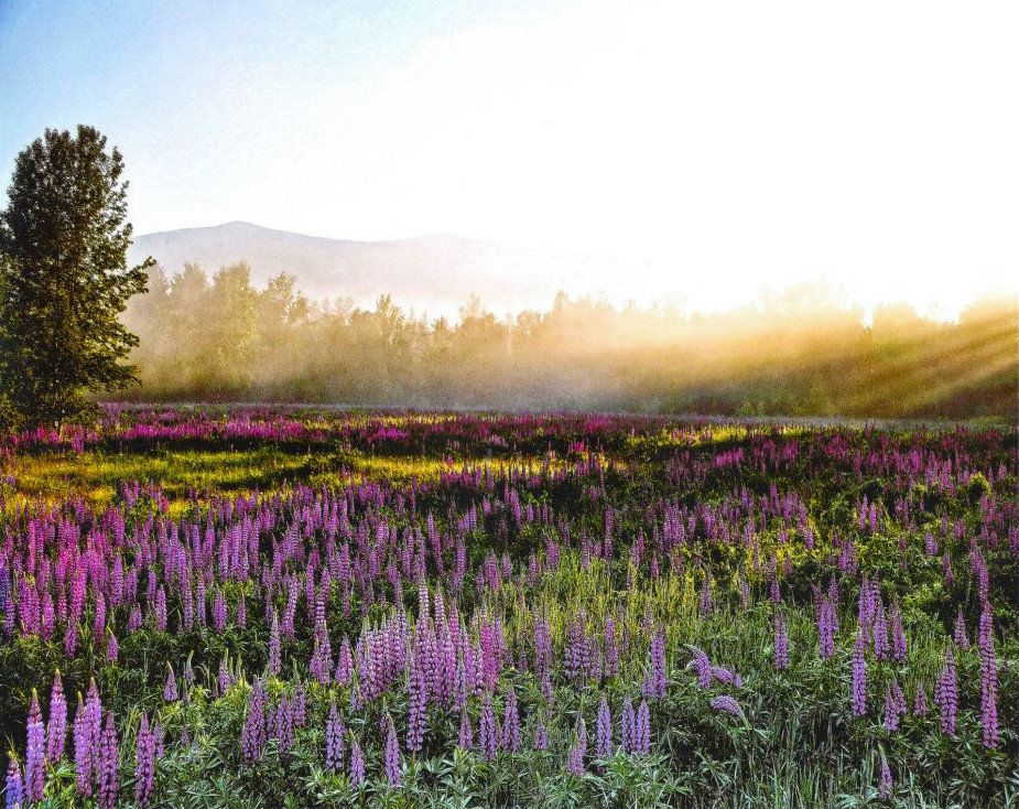 Trip Ideas grass sky outdoor Nature flower field grassland plant prairie flora meadow lavender grass family land plant lupin wildflower flowering plant english lavender woodland pond wetland lush