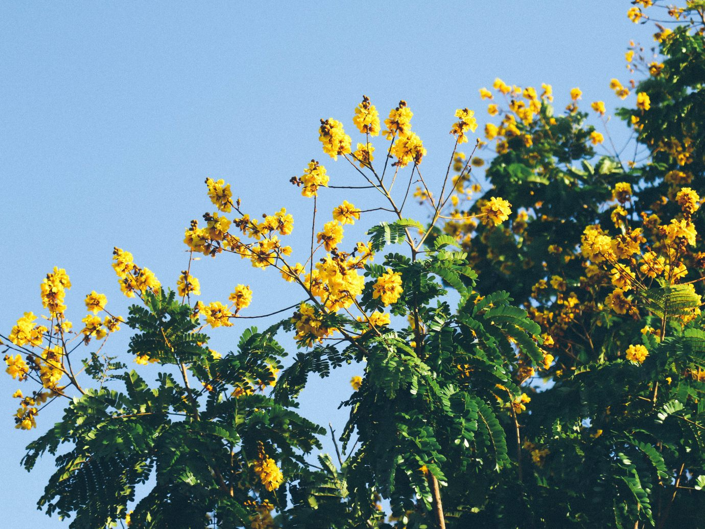 Trip Ideas tree sky outdoor yellow flower flora plant botany leaf branch land plant sunlight blossom produce flowering plant wildflower rapeseed shrub maidenhair tree