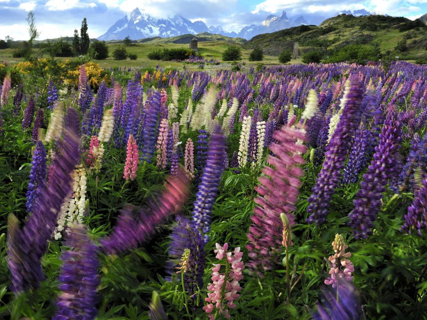 Hotels tree flower outdoor purple lupin plant lavender flora botany land plant english lavender flowering plant wildflower field french lavender Forest colored surrounded