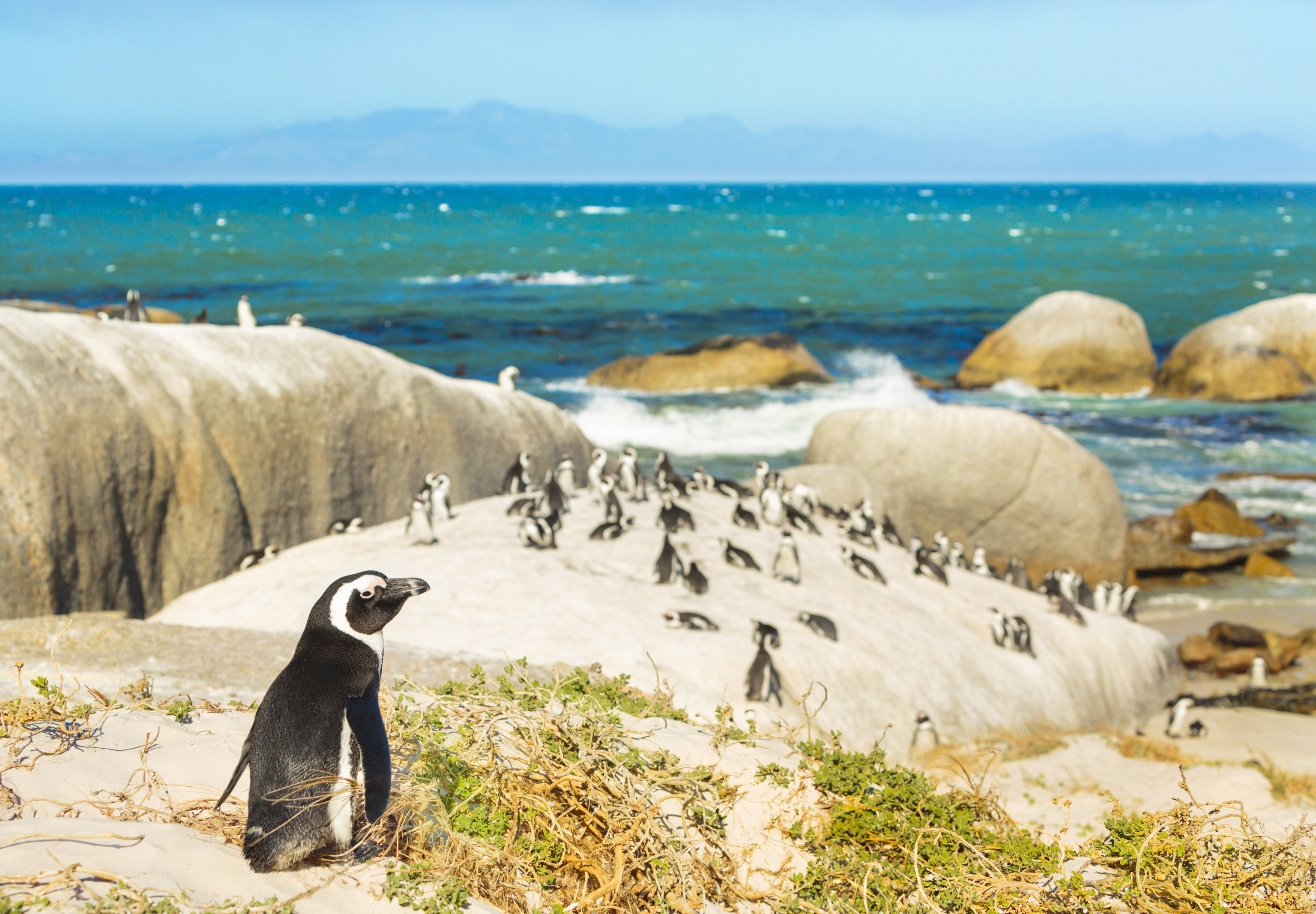 outdoor sky grass animal penguin flightless bird fauna shore Bird Sea Ocean Coast aquatic bird Beach cape vacation coastal and oceanic landforms tourism sand