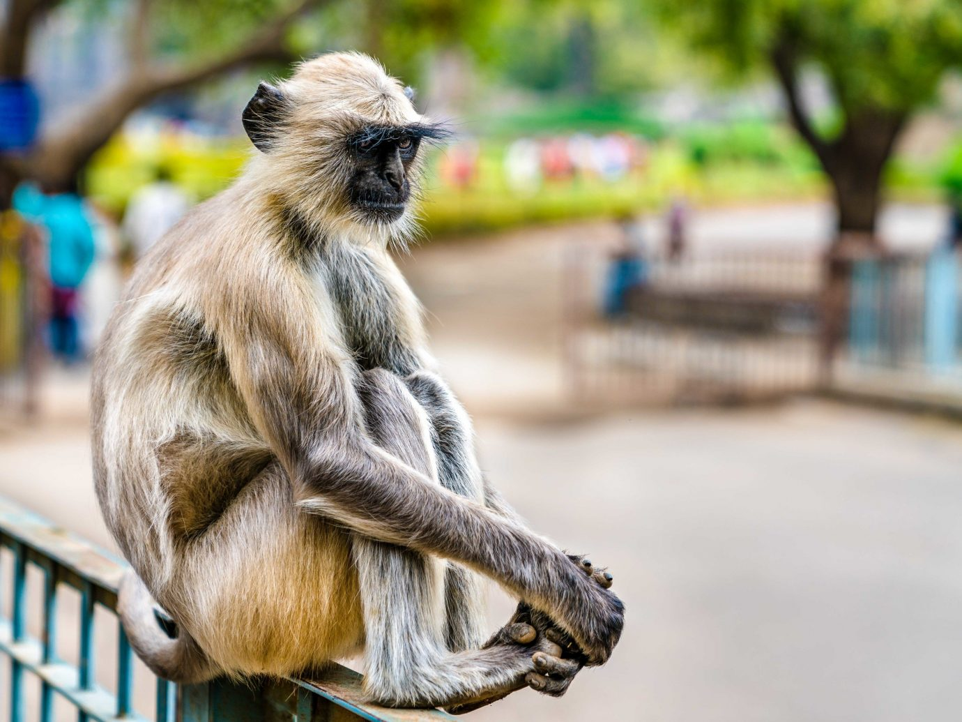 India primate animal mammal monkey outdoor fauna macaque old world monkey temple Wildlife