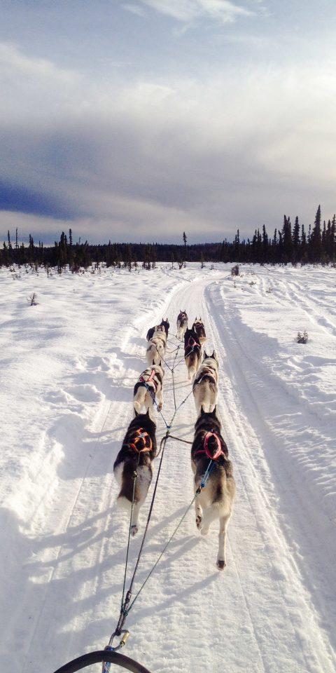 vertebrate dog like mammal snow Dog Winter arctic sled dog racing dog sled mushing sled dog ice sky greenland dog nordic skiing freezing vacation sled glacial landform