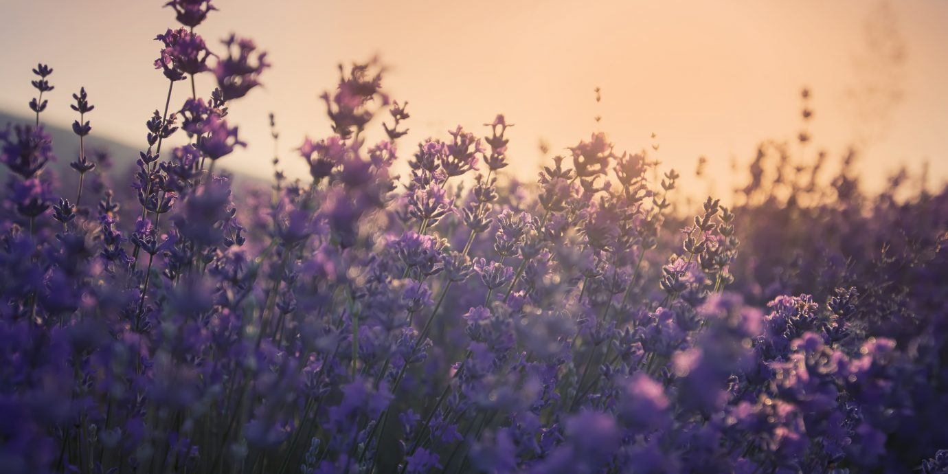 Best Perfumes, lavender fields provence france