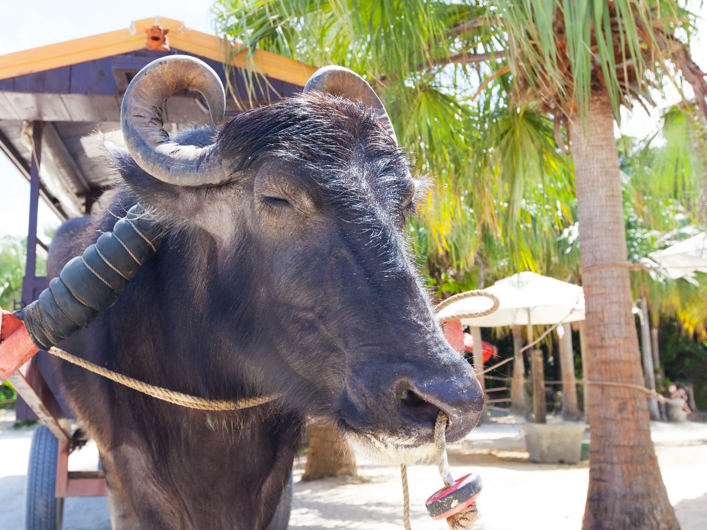 traditional water buffalo ride at taketomi island, japan