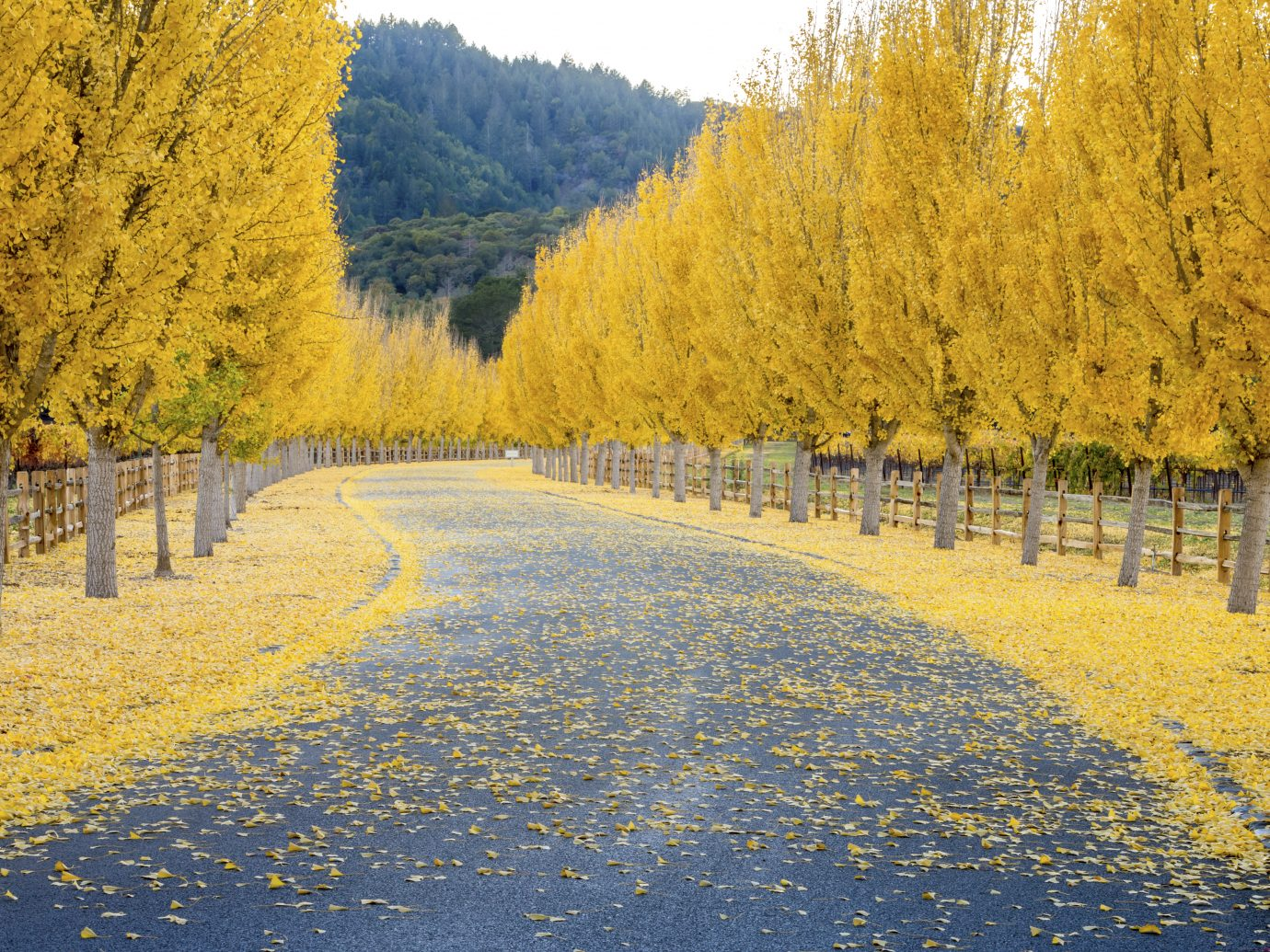 Street through a wine vineyard in the autumn in Napa USA