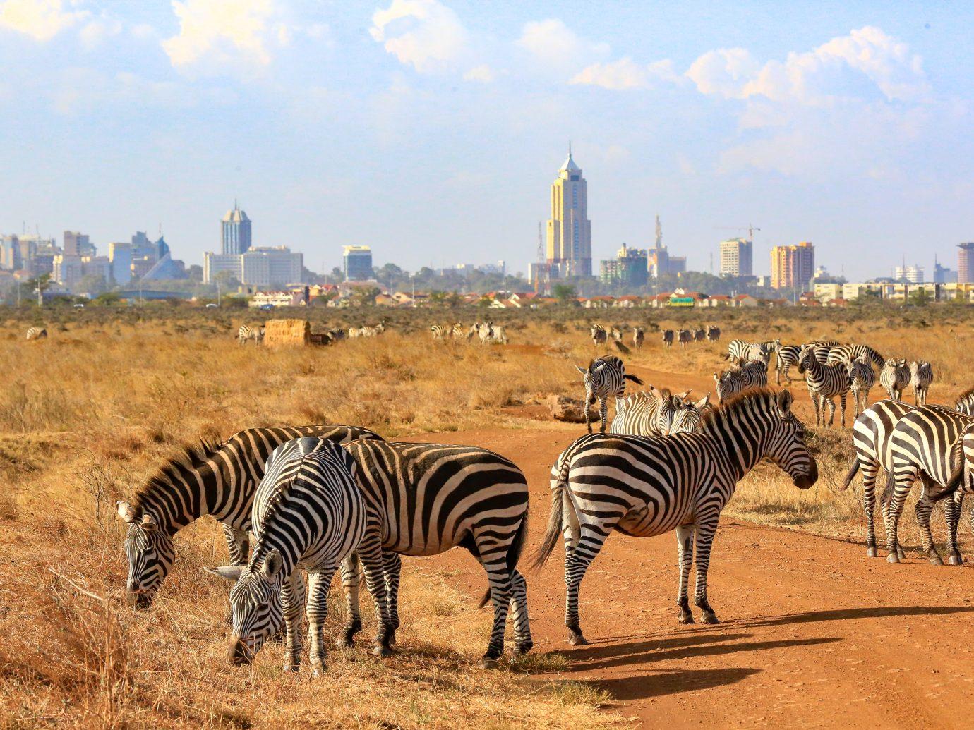 Zebras in Nairobi National Park