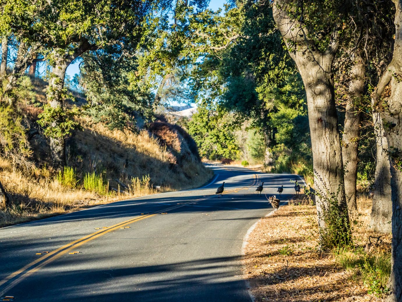 Family of four wild turkeys are roaming around the road of Pinnacles National Park, California