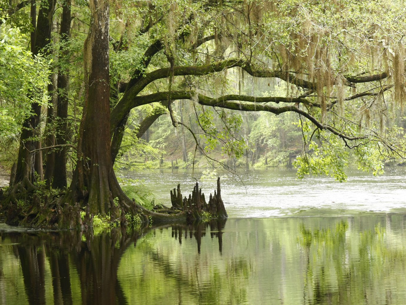 A Large Bald Cypress overhanging the Santa Fe River in Florida