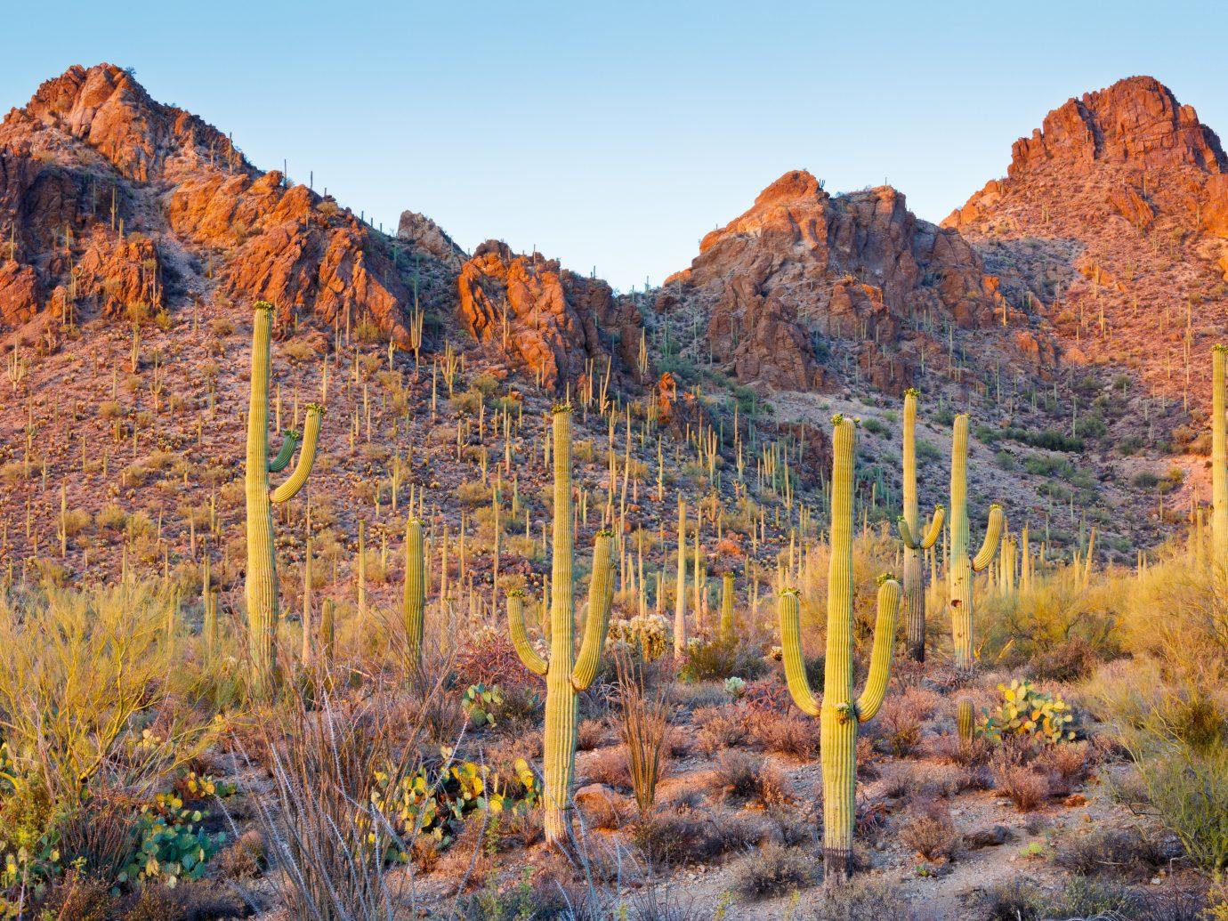 Saguaro Cactus in the Sonoran Desert