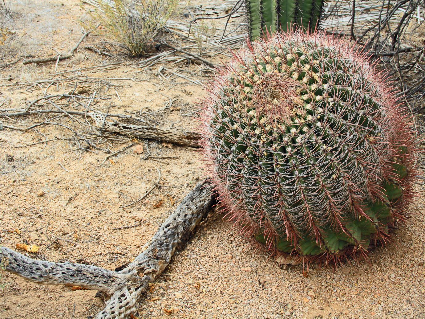 Fishhook barrel cactus beside the wooden remains of a dried dead cholla chainlink or cane cactus with background copy space in Saguaro National Park near Tucson, Arizona, USA.