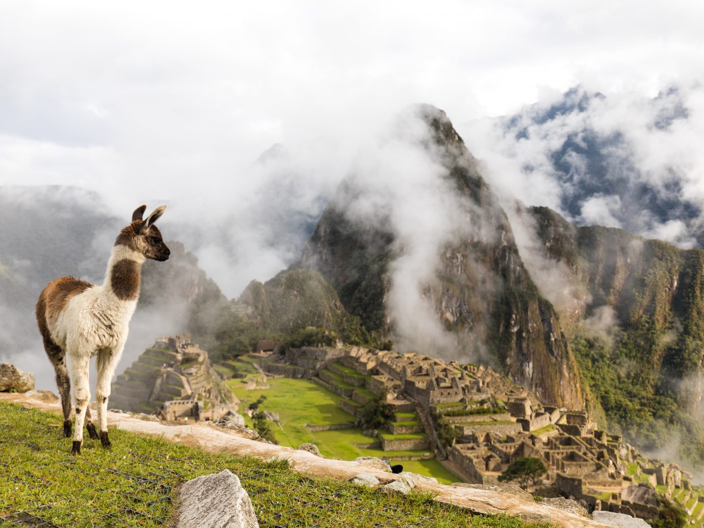 Alpaca looking over Machu Picchu