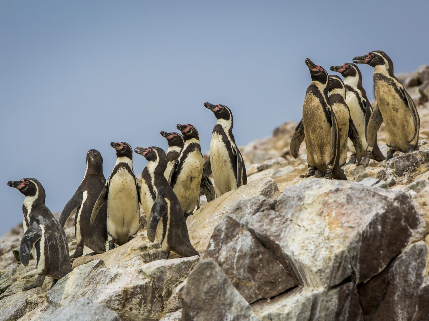 Peruvian penguins on Ballestas Islands in the Pacific Ocean.