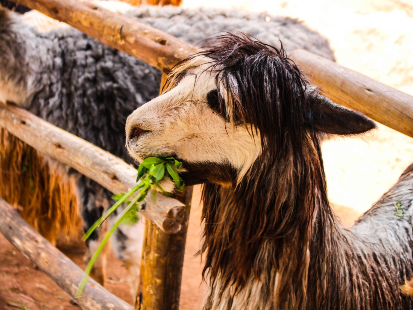 Alpaca eating its vegetables in Lima, Peru