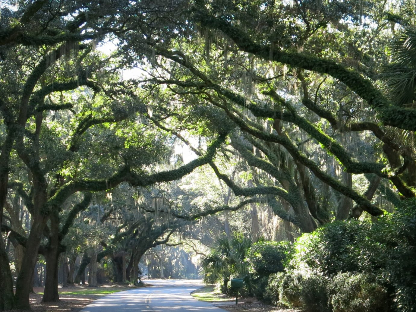 Beautiful Live Oak Trees Canopy Hilton Head Island Road, South Carolina