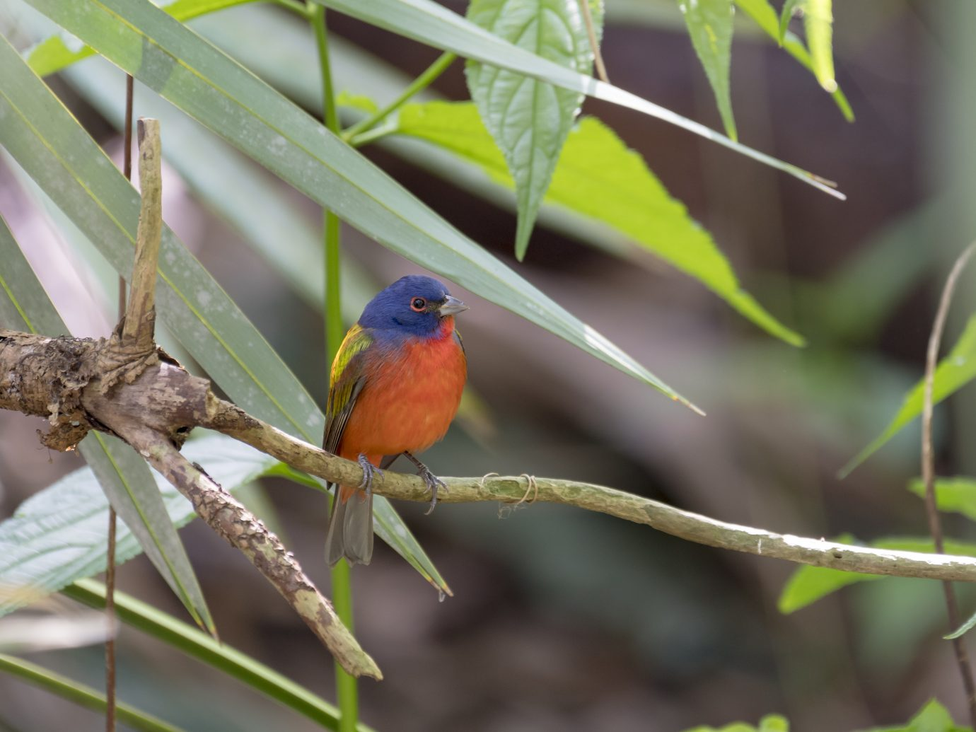 A male painted bunting sits on a branch