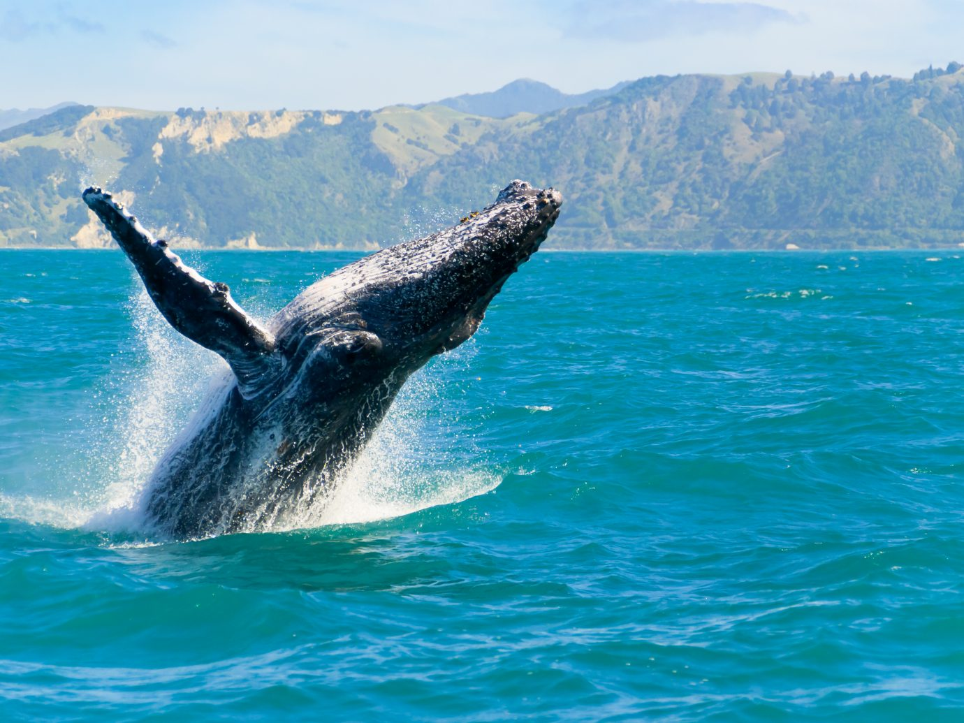 humpback whale playing in water captured from Whale whatching boat