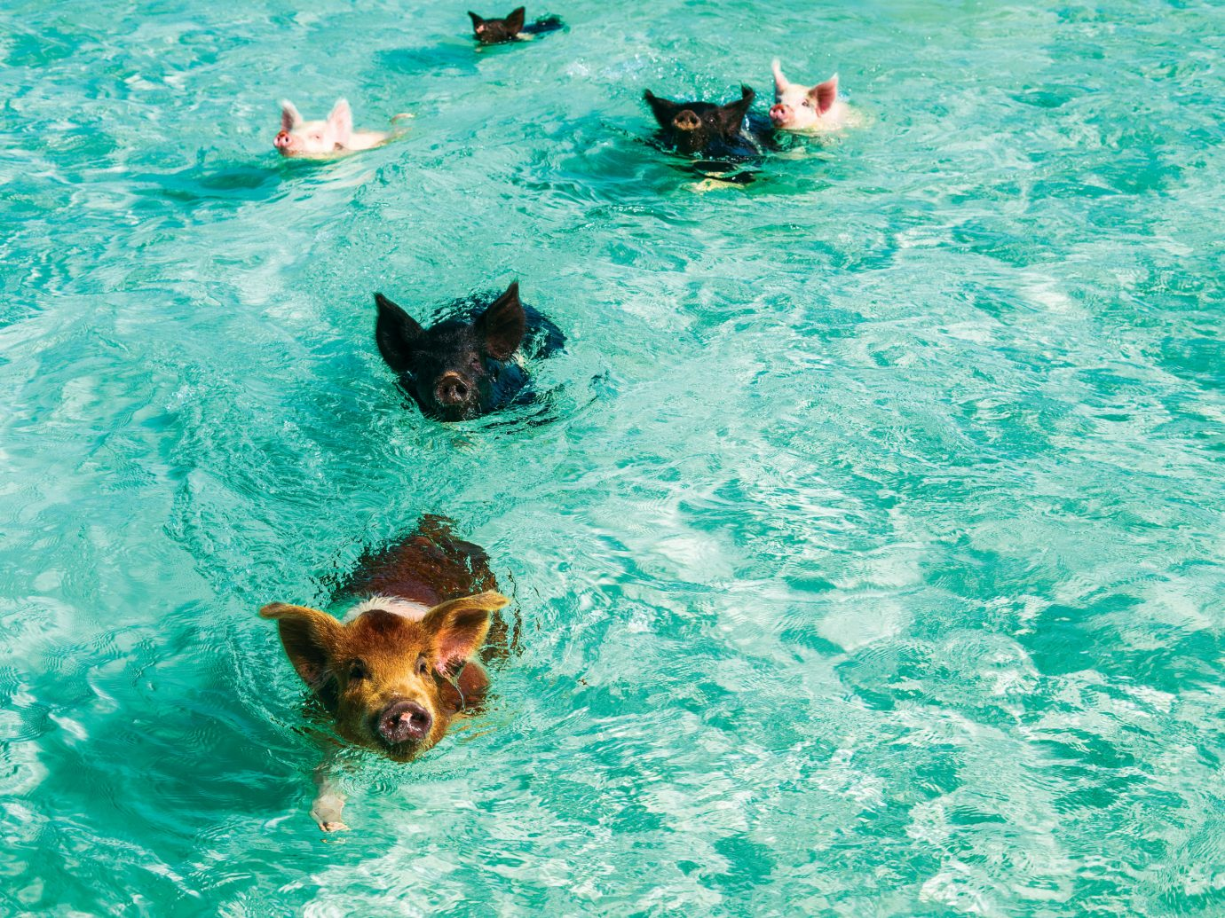 Pigs swimming in the ocean at Grand Isle Resort & Spa, Great Exuma, Bahamas