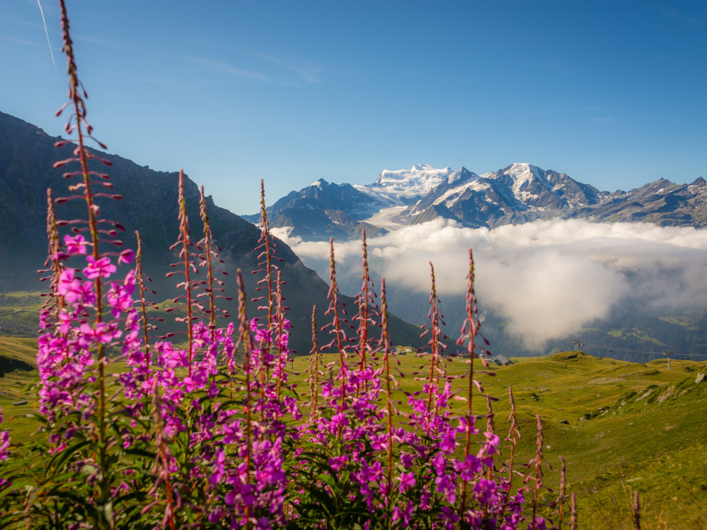 Purple fireweed flowers growing in a meadow above the tourist destination of Verbier in the Swiss alps.
