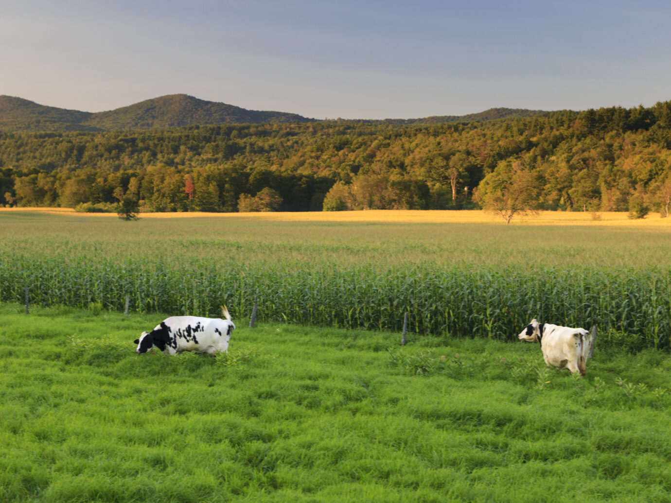 """Pair of cows in a green grass field with a large field of corn and mountains in the background in Stowe, Vermont, USA"""