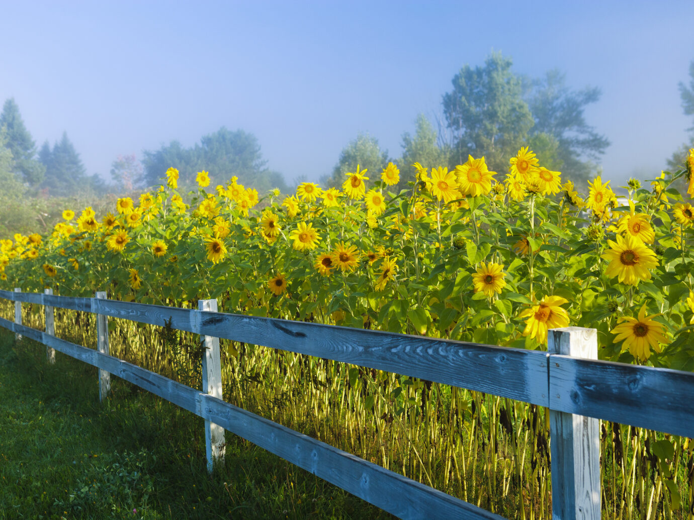 """Sunflowers during an early morning fog, Stowe Vermont, USA"""