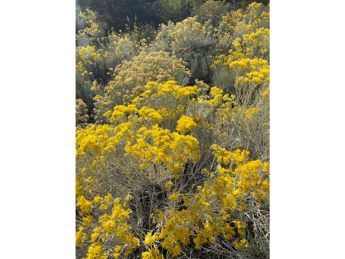 Yellow flowers, Autumn in New Mexico